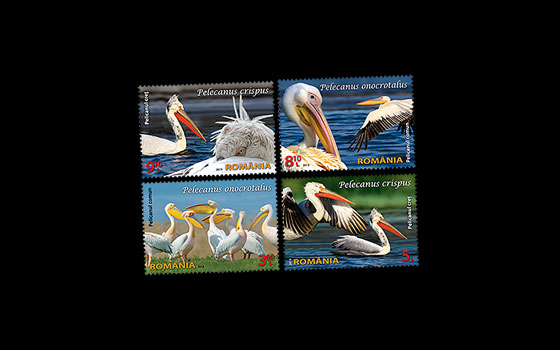 Protected wildlife in Romanian reserves: Pelicans SI